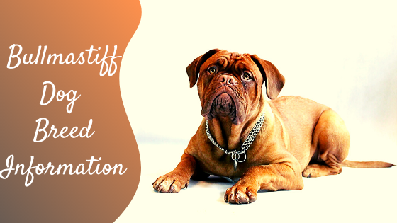 bull mastiff dog breed information